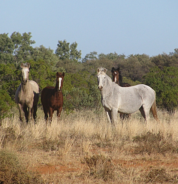 Brumbies on the Yuendumu Road