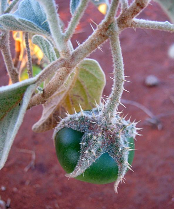 Wild Tomato Fruit