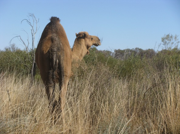 Feral camel on the road to Yuendumu